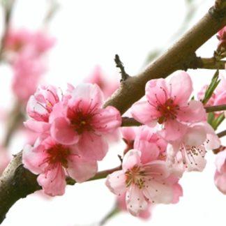 Sulwhasoo - Peach Blossom Spring Utopia 武陵桃源